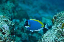 BD-150421-Maldives-7525-Acanthurus-leucosternon.-Bennet.-1833-[Powderblue-surgeonfish.-Vitbröstad-kirurgfisk].jpg